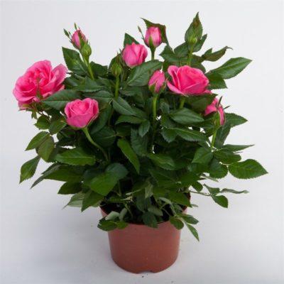 Роза в вазоне розовая