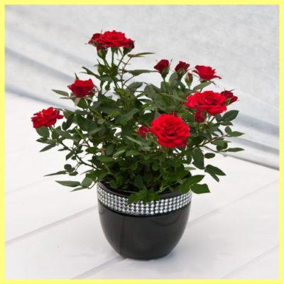 Роза в вазоне красная