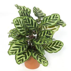 Calathea rosepicta