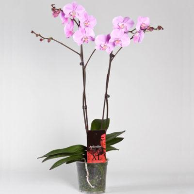 Орхидея 2 ветки